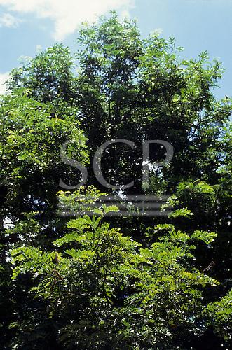 Amazon, Brazil. 'Caesalpinia echinata', Pau Brasil, Brazilwood, showing seed pods.