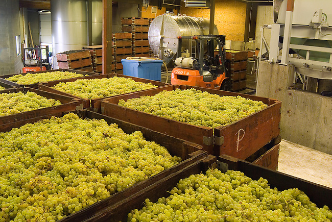 Harvested white grapes in the production area of Grey Monk Estate Winery in the northern part of the Okanagan, BC, Canada.