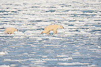 01874-12104 Polar Bear (Ursus maritimus) mother and cub jumping on ice in Hudson Bay  in Churchill Wildlife Management Area, Churchill, MB Canada