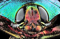 Callopistus castelnaudi - Insect