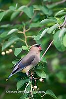 01415-02512 Cedar Waxwing (Bombycilla cedrorum) in Serviceberry Bush (Amelanchier canadensis) eating berry,   Marion Co., IL