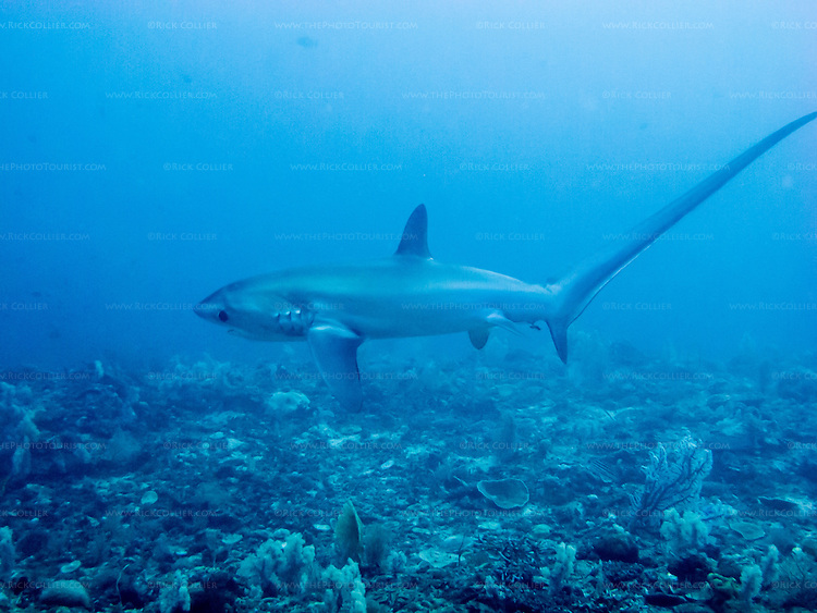 A thresher shark passes, just above the reef at Monad Shoal.  Pelagic thresher sharks can be seen almost daily at Monad Shoal, where they come in early mornings to be cleaned by the reef fishes.  (Monad Shoal, near Malapascua Island, Central Visayas, the Philippines.)