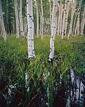 Aspen Grove,White Mountains,Arizona