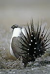 Greater sage grouse in courtship display on territorial lek, Moses Coulee, Washington.