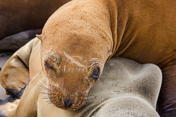 California sea lion (Zalophus californianus) pup.  Central California Coast.
