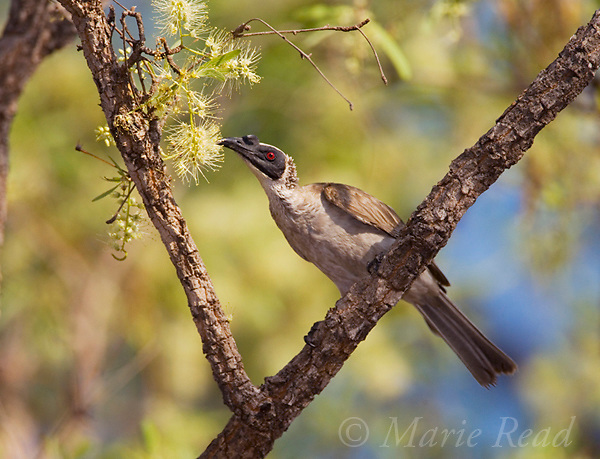 Helmeted Friarbird (Philemon buceroides), attracted to feed on nectar from tree flowers, Kakadu National Park, Northern Territory, Australia