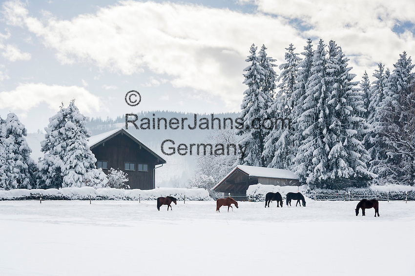 Germany, Upper Bavaria, Chiemgau, between Ruhpolding and Siegsdorf: winter scenery, horses on winter meadow   Deutschland, Oberbayern, Chiemgau, zwischen Siegsdorf und Ruhpolding: Winterlandschaft, Perde auf der Winterkoppel