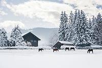 Germany, Upper Bavaria, Chiemgau, between Ruhpolding and Siegsdorf: winter scenery, horses on winter meadow | Deutschland, Oberbayern, Chiemgau, zwischen Siegsdorf und Ruhpolding: Winterlandschaft, Perde auf der Winterkoppel