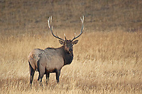 Bull Elk in grass. Another example of great light. Sharp and  clear as well.