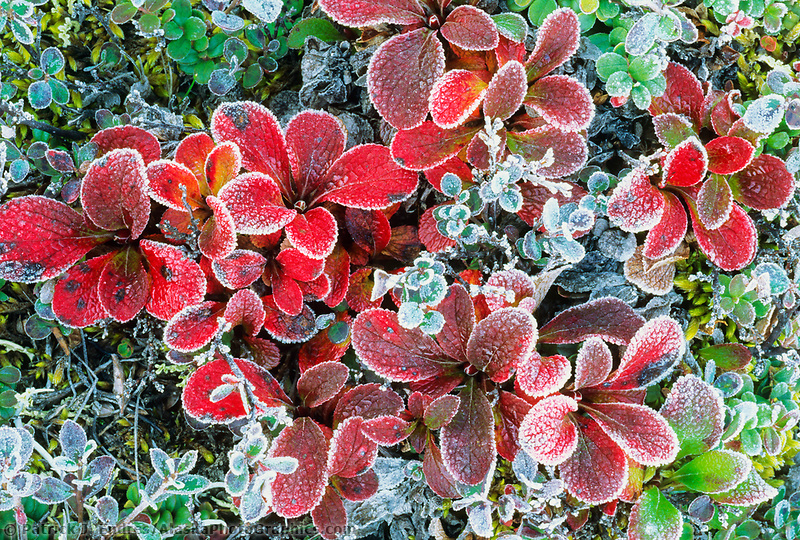 Bearberry on the tundra with morning frost, Arctic Alaska