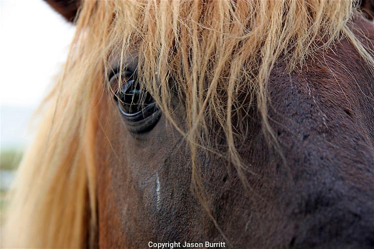 Wild horse, Assateague Island National Seashore, Maryland