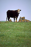 Black and white cow with ear tag standing next to rocks on green grass field hill in spring, Mariposa, California