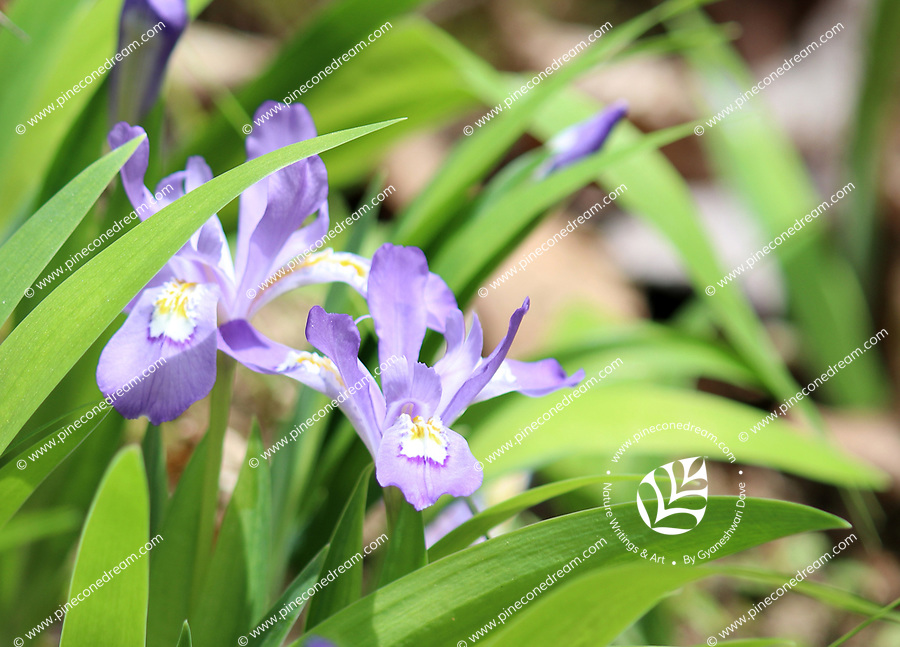 Beautiful purple dwarf iris wildflowers blossoming bright in light in spring, at the porters creek trail at the great smoky mountains national park, USA - Free stock photo.