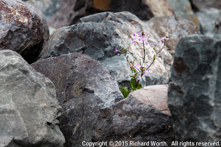 A wild radish plant, with its purple and white flowers waving, climbs on and around the rocks and boulders on the San Francisco Bay shoreline.