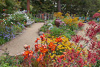 Gravel path around colorful California back yard garden island bed with orange and yellow flower perennials, Canna, Anigozanthos, Rudbeckia; Schneck Garden
