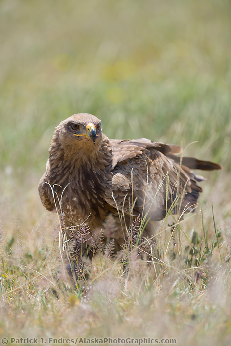 Tawny Eagle, Serengeti National Park, Tanzania, East Africa