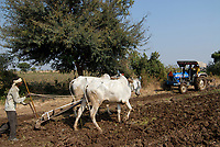 INDIA Madhya Pradesh , cotton farming, farmer plows soil with cows and tractor / INDIEN Madhya Pradesh , Baumwollanbau, Pfluegen mit Traktor und Ochsengespann