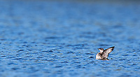 Marbled murrelets can be tough to spot due to their small size.