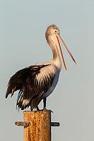 Australian Pelican (Pelecanus conspicillatus), non-breeding plumage off Kangaroo Island, South Australia, Australia.