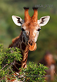 Carl, ANIMALS, wildlife, photos(SWLA3768,#A#)