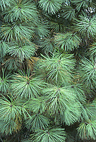 Jeffrey Pine Pinus jeffreyi (Height to 40m) is the upland counterpart of Ponderosa Pine in its native western USA. It has bluer foliage and larger cones, up to 30cm long, with scales bearing slender, curved spines, and the bark is blacker. Grows well here,  planted mainly for ornament.