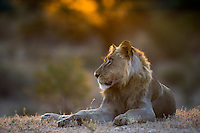 Subadult male lion backlit by the first rays of sun light
