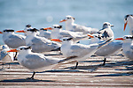 Captiva Island, Florida; a flock of Royal Tern (Thalasseus maximus) birds standing at the end of a wooden pier © Matthew Meier Photography, matthewmeierphoto.com All Rights Reserved