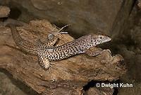 1R18-502z  Checkered Whiptail Lizard, Cnemidophorus tesselatus