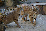 Male bobcats play in Palm Desert.  Captive