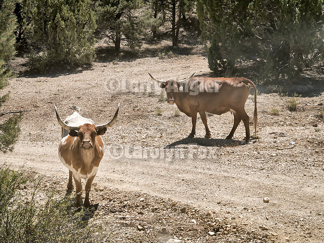 Open range longhorn cattle along the road, Grant Range, Nev.