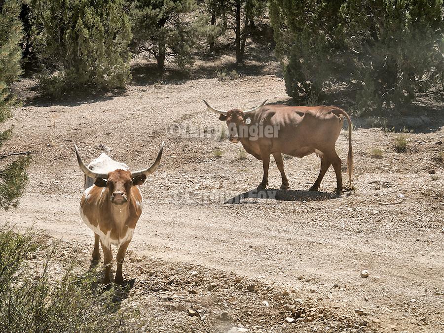 Open range longhorn cattle along the road, Grant Range, Nev.