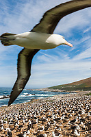 Black-browed albatross fly's over a breeding colony. Steeple Jason Island, Falkland Islands