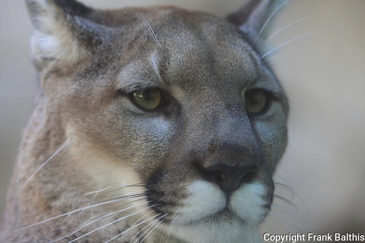mountain lion face