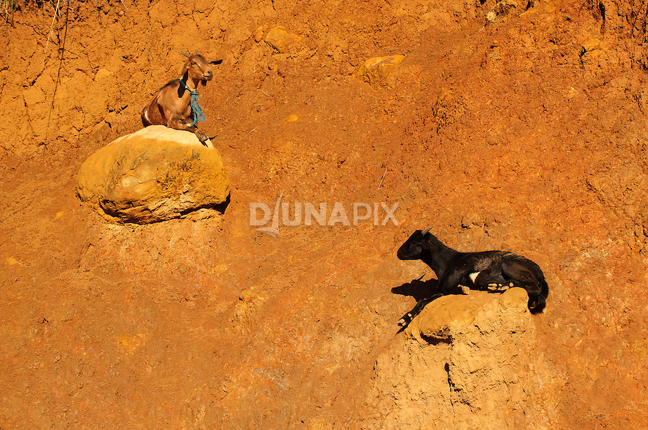 Black and brown goats perched on perched on outcrops on roadcut