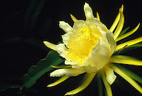 Night blooming cereus (hylocereus undata), close-up of flower