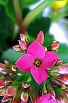 Flores. Calancoê, calanchoê ( Kalanchoe blossfeldiana). SP. Foto de Manuel Lourenço.