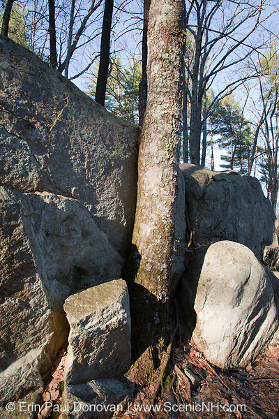 Tree growing near large boulder in a New Hampshire USA forest during the summer months