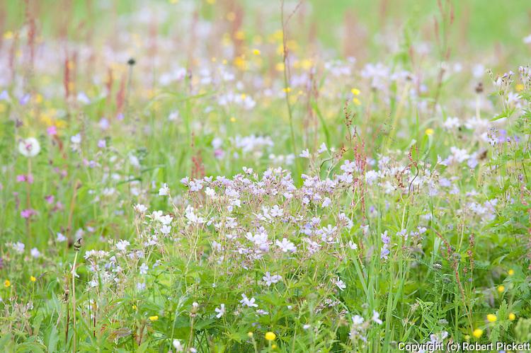 Meadow flowers and grasses, Kuhmo, Finland, Lentiira, Vartius near Russian Border, colourful