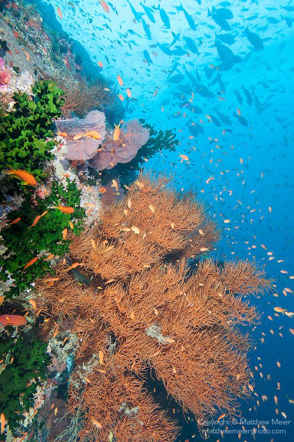 Bligh Waters, Rakiraki, Viti Levu, Fiji; schooling Anthias fish swimming amongst a reddish brown, gorgonian sea fan, as Blue and Yellow Fusilier and Yellowfin Surgeonfish swim overhead