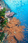 Bligh Waters, Rakiraki, Viti Levu, Fiji; schooling Anthias fish swimming amongst a reddish brown, gorgonian sea fan, as Blue and Yellow Fusilier and Yellowfin Surgeonfish swim overhead