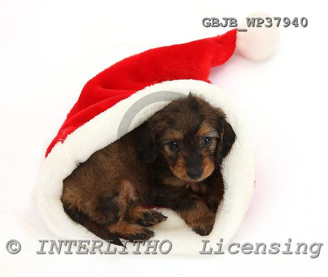 Kim, CHRISTMAS ANIMALS, photos, GBJBWP37940,#XA# stickers