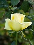 St. Patrick Rose, Rosa hybrid tea