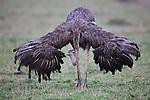 Female ostrich (Struthio camelus) displaying, Maasai Mara, Kenya