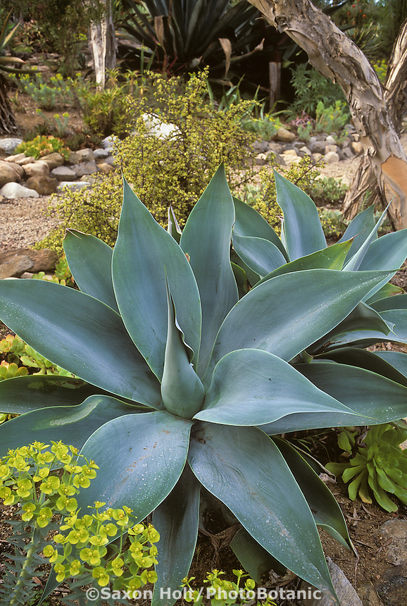Agave attenuata 'Boutin Blue' soft foliage succulent as focal point in California garden