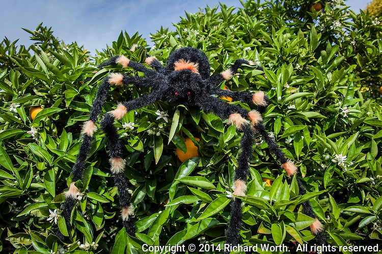 For fun, a Halloween decoration, a large spider,  poses in an orange tree.
