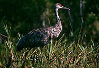 Florida Sandhill crane arrives hungry in winter months in the Okefenokee Swamp.<br /> Fewer than 5,000 individuals remain and are threatened by habitat destruction. Although protected, the declinding population is managed to prevent a critical status.