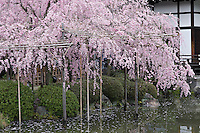 Bamboo canes support the branches of flowering cherries (Prunus pendula 'Pendula') in this historic Japanese garden