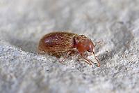 Brotkäfer, Bücherwurm, Stegobium paniceum, Anobium nanum, Drugstore beetle, bread beetle, biscuit beetle, Anobiidae, Ptinidae, woodboring beetles, Pochkäfer