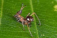 Buchen-Zahnspinner, Buchenzahnspinner, junge Raupe hat Ähnlichkeit mit<br /> einer Ameise, Tarnung, Ameisenmimikry, Ameisen-Mimikry, Mimikry, Stauropus fagi, Lobster Moth, Notodontidae, Zahnspinner
