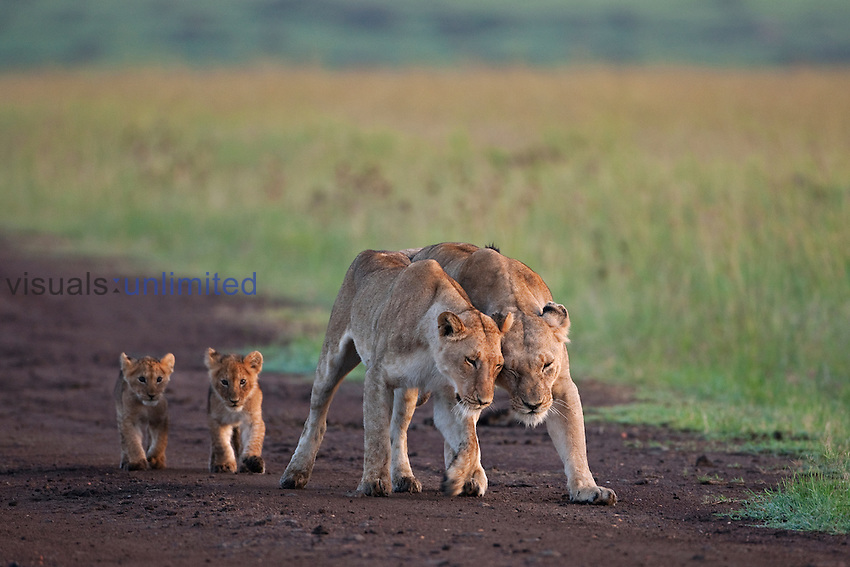 African Lion lionesses with their cubs aged 3-6 months walking along a dirt track  (Panthera leo), Masai Mara, Kenya.